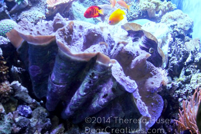 Giant Clam_ Giant Purple Clam_Monterey Bay Aquarium_