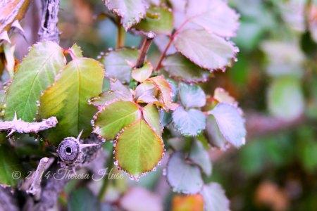 raindrops on leaves_ raindrops on rose bush leaves_