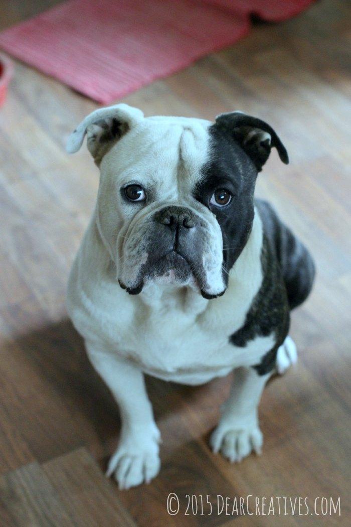 13 Reasons Bulldog Love Is Sweeter Than Christmas