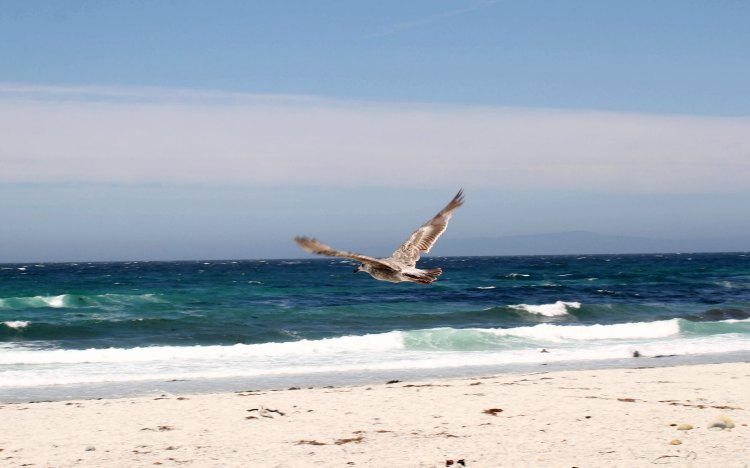 Travel Carmel California Seagull and beach and ocean view on the 17 mile drive