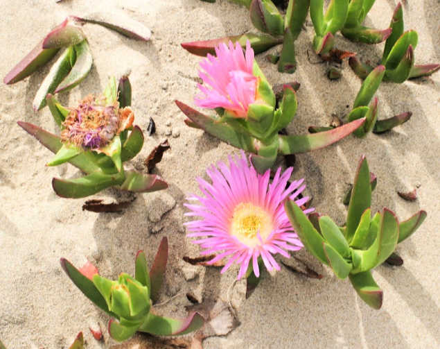 ice plants in bloom on a coastal walk on a Pismo beach trail in California - walking, hiking and healthy lifestyle tips DearCreatives.com