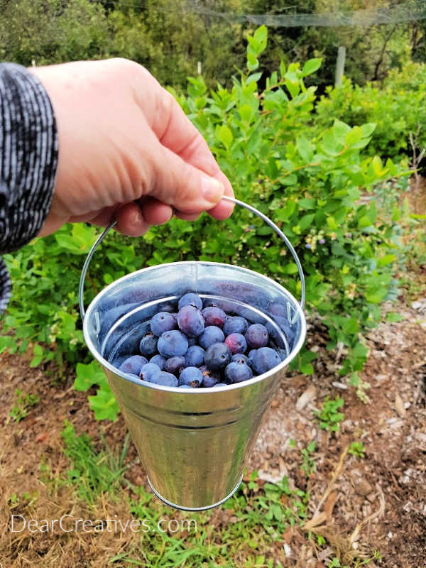 picking fresh, organic blueberries - DearCreatives.com